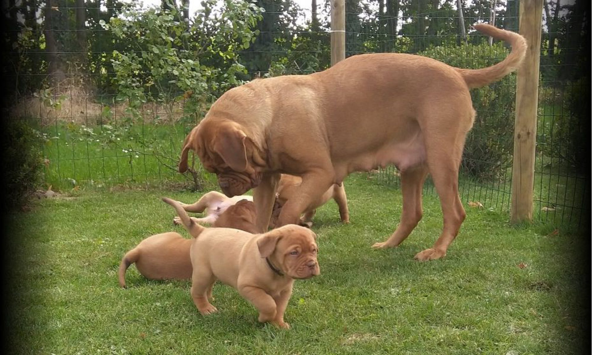 Red Shirley, dog de Bordeaux